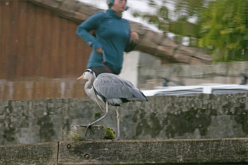 oiseau héron reflet avec joggueuse 1 071019