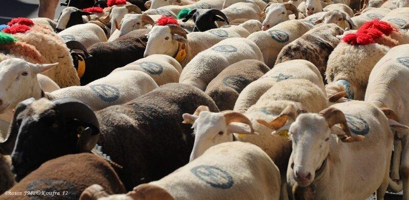 Photos JMP©Koufra 12 - Le Caylar Mouton Transhumance - 20062018 - 045