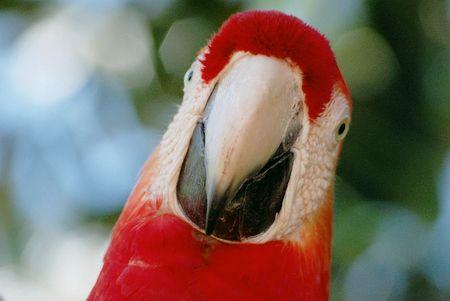 ara rouge