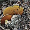 Boletus erythropus (3)