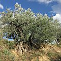 Nyons: le sentier des oliviers