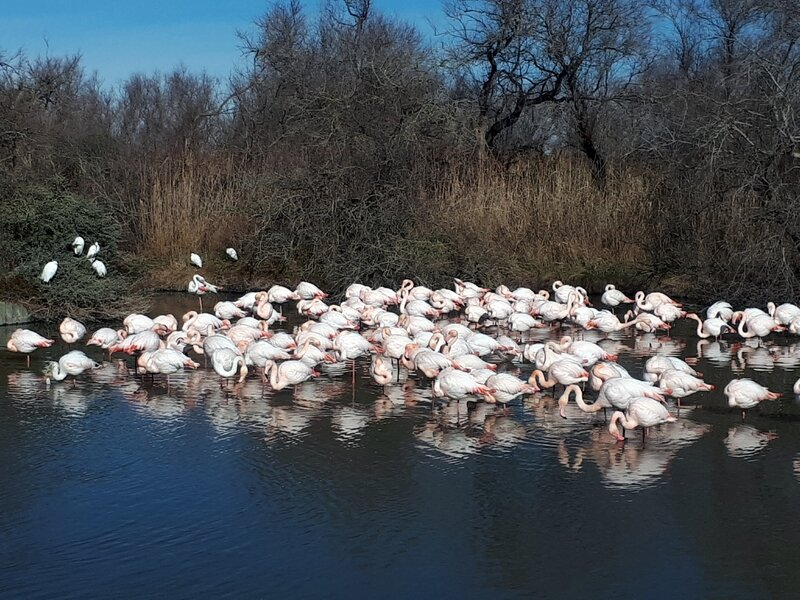Camargue Flamants1 13-02-2018