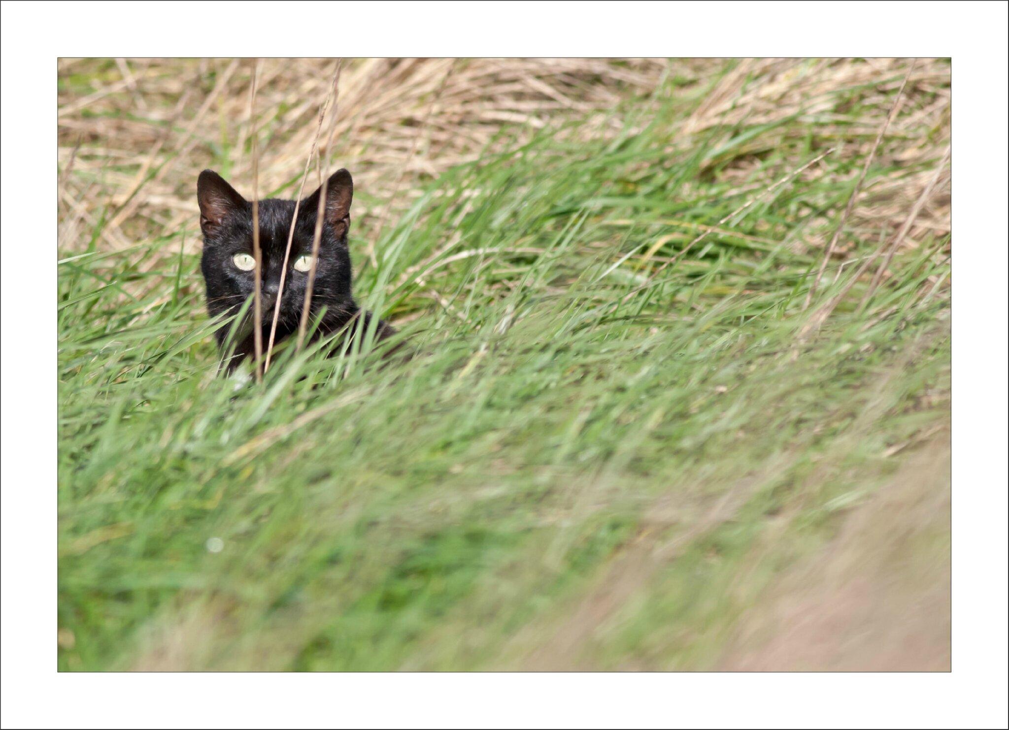 Lierre noir chatte