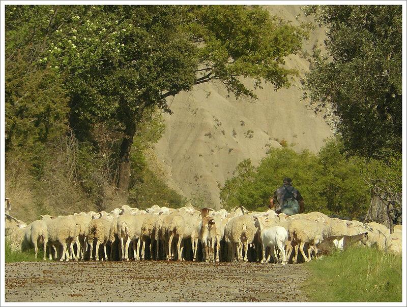 moutons et berger Aragon