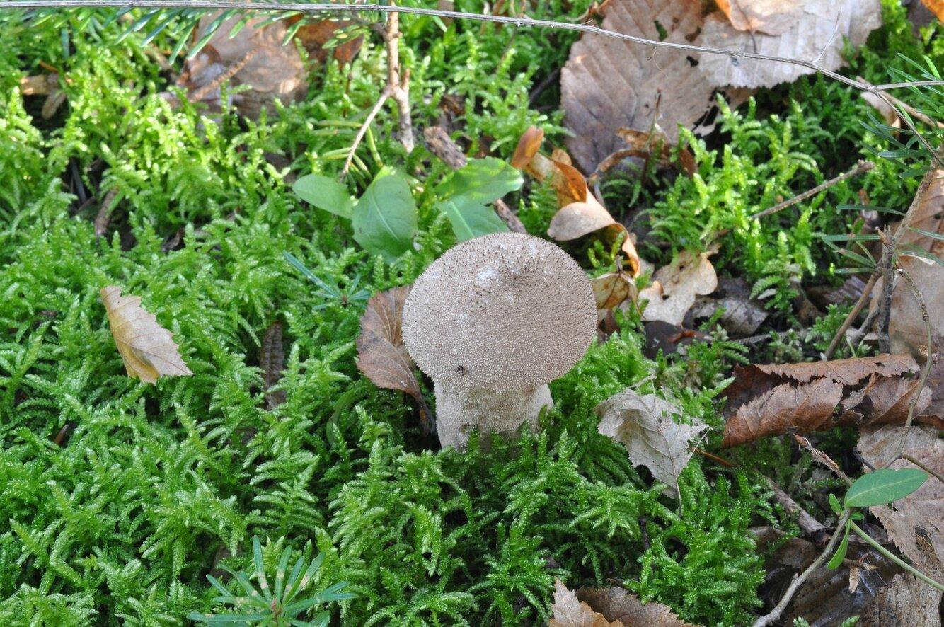 Lycoperdon perlatum (1)