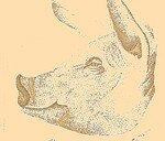 cochon_corps_article