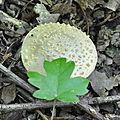 Amanita franchetii (1)