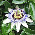 Fleurs de la passion 1