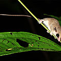 Marmosa sp. - Opossum souris