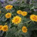 2009 07 04 Fleurs d'Aunées vivaces