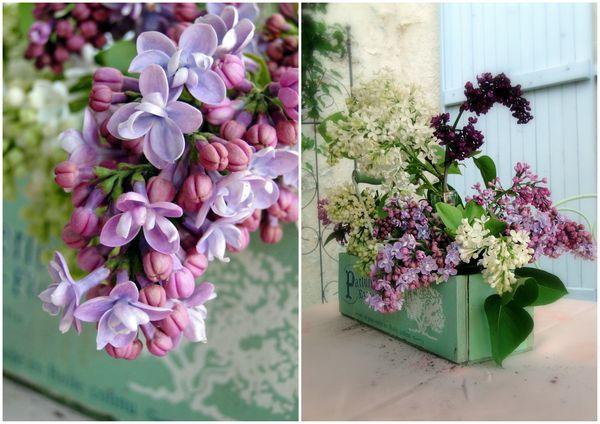 bouquet de Lilas fleurs printemps fleurs parfumées