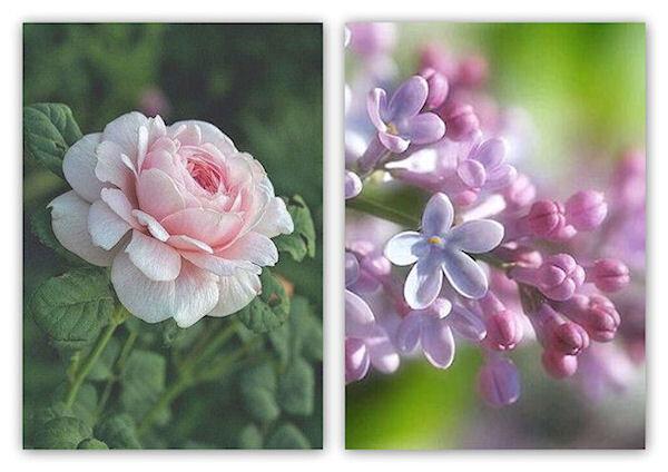 rose et lilas1