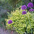 allium (ail d'ornement)