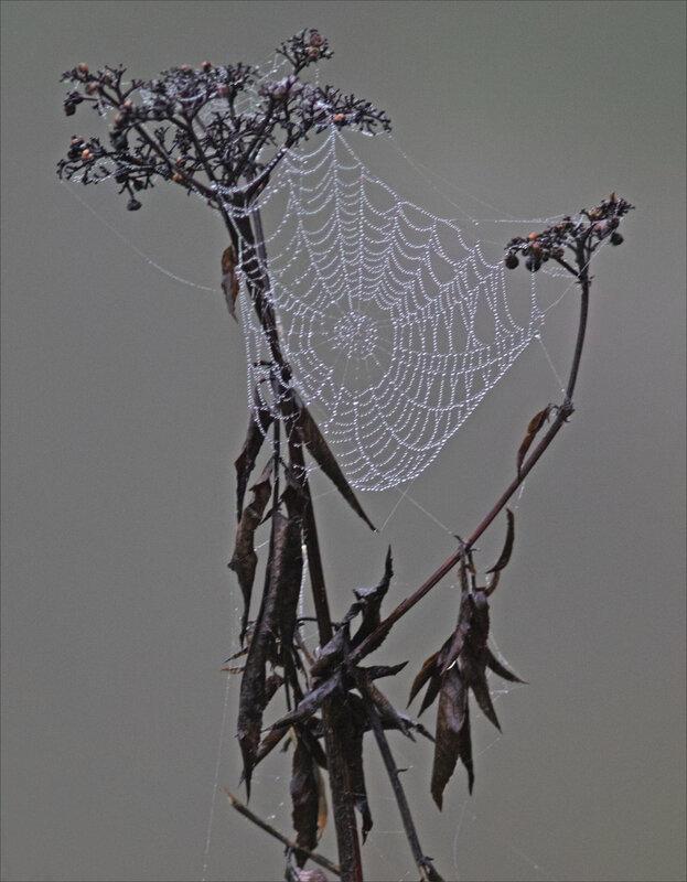 Plante toile araignée rosée forme 211019