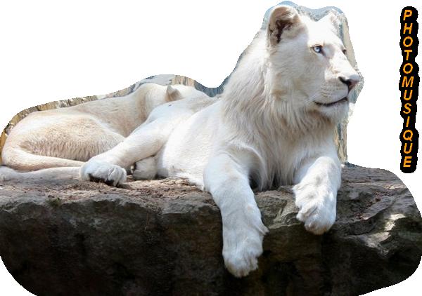 lion4 (2)