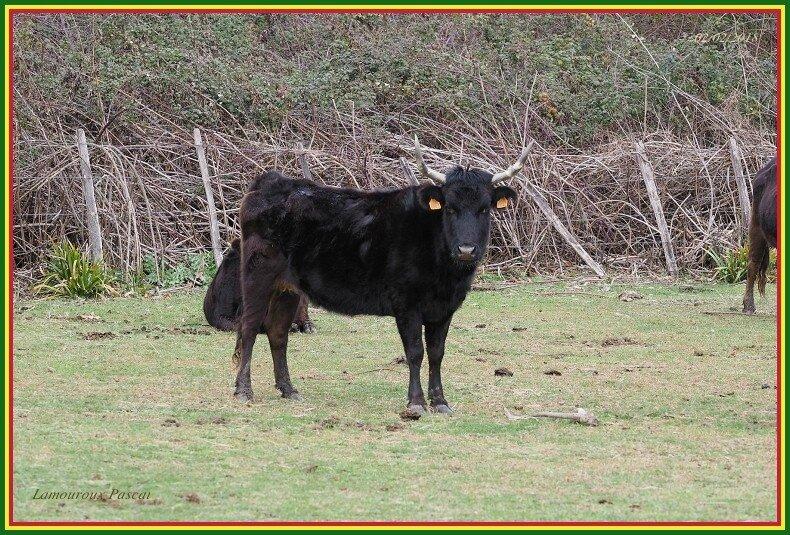 Vache N°843(1)-border