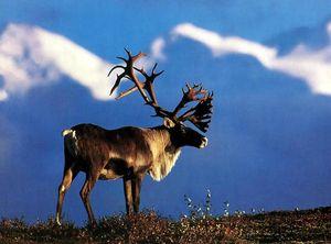 caribou_grande