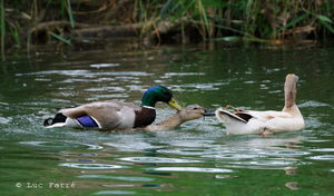 canards_repro01