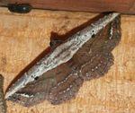 Lophoruza mascarena (3)