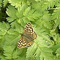papillon-B-01 (3)