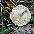 Lactarius chrysorrheus (1)