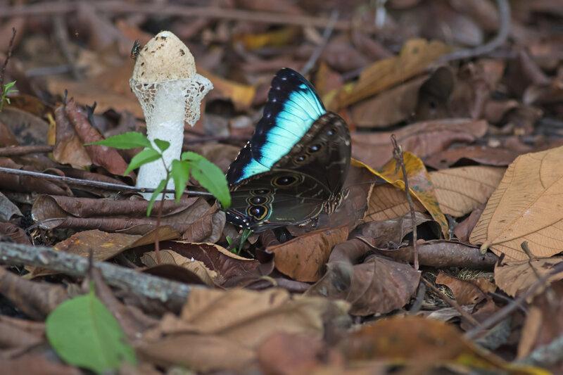 CR 8 Cahuita hotel parc 2015 20 papill Morpho champignon pluie