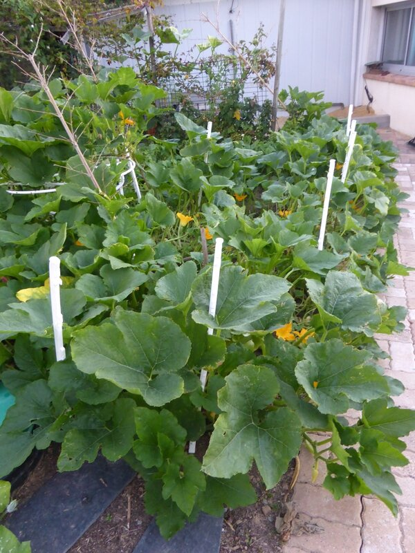6-courgette (2)