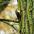 Grimpereau des jardins 18-1