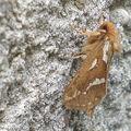 La Louvette • Korscheltellus lupulinus • Famille des Hepialidae