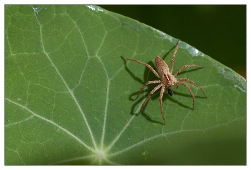 ville capucines araign dolomede predation 080914