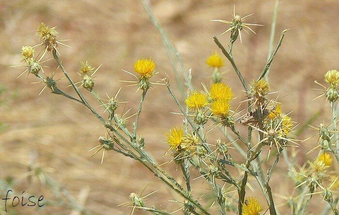 floraison de Juin à Septembre