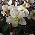 Helleborus x nigrescors 'candy love'