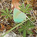 Callophrys rubi - la thécla de la ronce