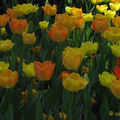 tulipes jaune et orange