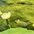 1-Grenouilles et fleurs de Léon 060517