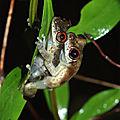 Scinax sp.2 : Scinax aux yeux rouges
