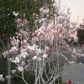 Magnolia en fleurs - 20 janvier 2011 - C'est sympa la californie!