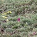 2009 05 01 Orchidées sauvages