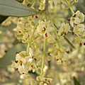 Fleurs d'olivier en mai