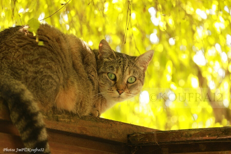 Photos JMP©Koufra 12 - Le Caylar - Chats - 07072019 - 0030