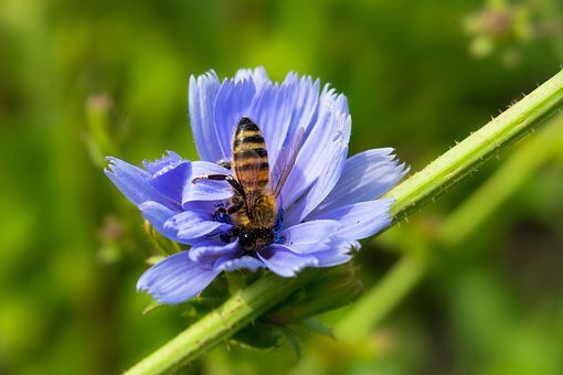 fleur abeille