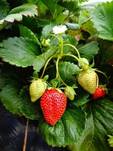 Mes premières plantations : 12 fraisiers !
