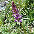 orchis-moustique, gymnadenia conopsea...
