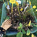 Comment hiverner les dahlias ?