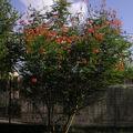 Arbuste flamboyant