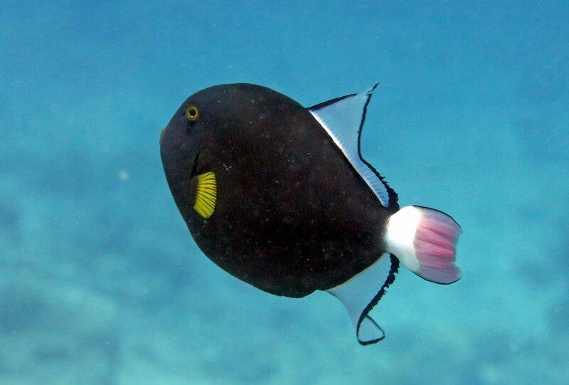 Pink tail triggerfish (5)