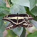 Grand Porte-queue - Papilio cresphontes (1)