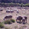 Des moutons mais pas que...
