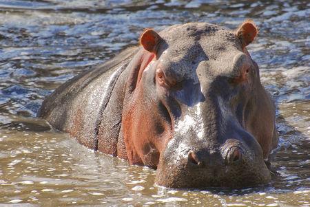 Hippopotame_amphibie__parc_Kruger__Afrique_du_Sud__4_