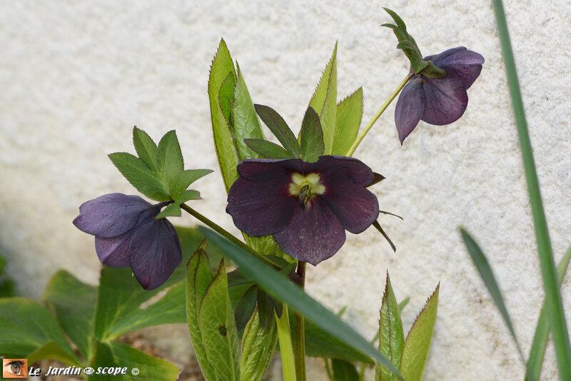 Hellebore-noire
